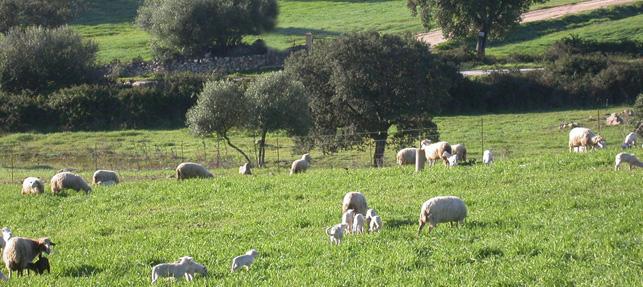 montenieddu-azienda-pascolo-grege-pecore